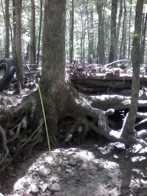 Erosion at the head of the main valley -- a 44-inch deep bowl braced by tree roots. (tape measure 44 inches = 3 ft 8 in.)